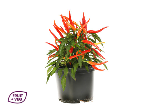 Potted Chilli